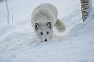 Norway, Bardu, polar fox in winter - PAF001243
