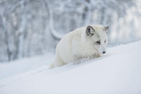 Norway, Bardu, polar fox in winter - PAF001233