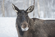 Norway, Bardu, portrait of elk with snow-covered snout - PAF001234