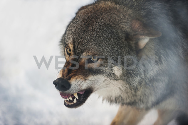 Norway, Bardu, wolf baring teeth - PAF001236