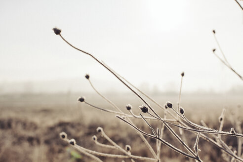 Frost-covered stems in winter - BZF000028