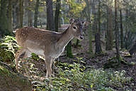 Germany, Furth im Wald, fallow deer at wildlife park - LB001017