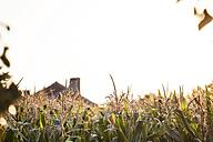 Bulgaria, Razgrad, cornfield in countryside - BZF000021