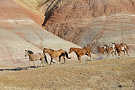 USA, Wyoming, Big Horn Mountains, six galloping wild horses - RUEF001463