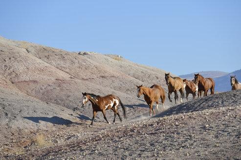 USA, Wyoming, six wild horses running in badlands - RUEF001478