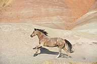 USA, Wyoming, Big Horn Mountains, galloping wild horse - RUEF001480