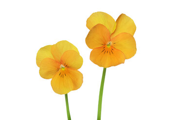 Two yellow orange violets in front of white background - RUEF001421
