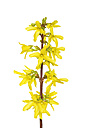 Blossoms of forsythia in front of white background - RUEF001424