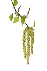 Twig of birch tree with leaves and catkins in front of white background - RUEF001427