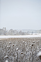 Germany, snow-covered sunflower field - ASCF000036