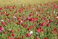 Austria, Lower Austria, Waldviertel, Poppy field, Papaver somniferum, grey poppy - SIEF006466