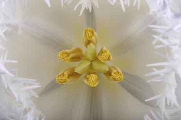 Detail of white tulip - MJOF000948