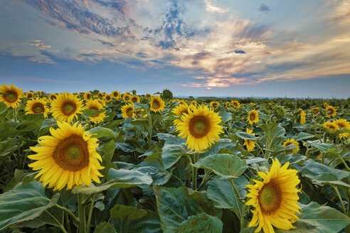Austria, Burgenland, View of sunflower field at sunset - GFF000560