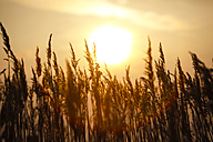 Germany, Mecklenburg-Western Pomerania, Fischland-Darss-Zingst, grasses against the sun at sunset - JTF000631