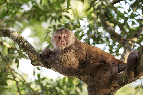 Ecuador, Napo, Tena, capuchin monkey in tree - FPF000023