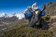 Nepal, Khumbu, Everest region, Dingboche, yak with load - ALRF000018