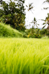Indonesia, Bali, Green rice seedlings in ricefield - MBEF001316