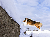 Germany, Shetland Sheepdog jumping over tree trunk with snow - STSF000692