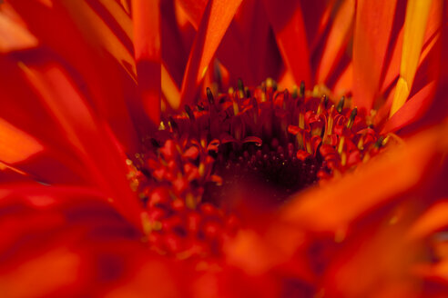 Blossom of gerbera, close-up - JUNF000203