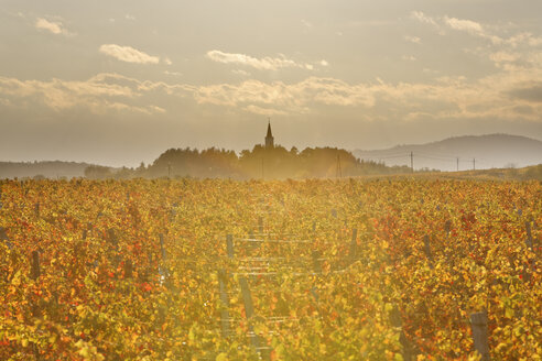 Austria, Burgenland, Oberpullendorf District, Lackendorf, vineyard and church in autumn - SIEF006469