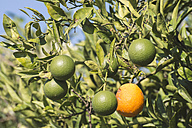 Greece, Peloponnese, oranges on a branch - DEGF000202
