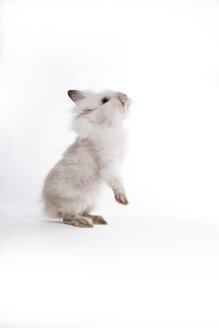 Dwarf rabbit on white ground - CNF000044