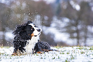 Germany, Saint Bernard lying on snow-covered meadow shaking head - STSF000697