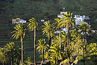 Spain, Canary Islands, La Gomera, Valle Gran Rey, Canary Island Date Palms - SIEF006484