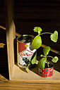 Preserve cans used as nursery pots for courgette plants - GIS000022