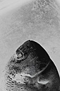 Negative image of the head of a gilthead seabream - AXF000743