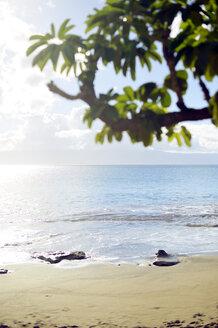 USA, Hawaii, Maui, Lahaina, red mangrove on beach - BRF001012