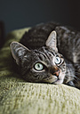 Portrait of tabby cat lying on top of a couch - RAEF000055