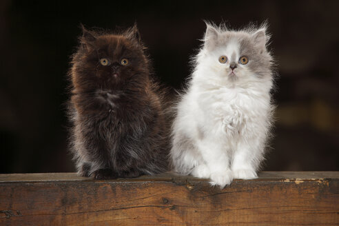 Two British Longhair kittens sitting on wooden beam - HTF000673