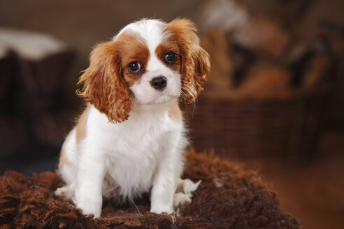 Portrait of Cavalier King Charles Spaniel puppy sitting on sheep skin - HTF000683