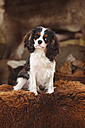 Portrait of Cavalier King Charles Spaniel puppy sitting on sheep skin - HTF000675