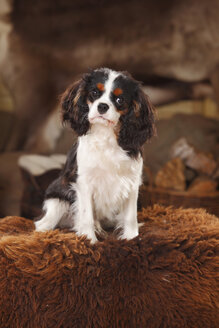 Portrait of Cavalier King Charles Spaniel puppy sitting on sheep skin - HTF000675