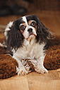 Portrait of Cavalier King Charles Spaniel lying on sheep skin - HTF000678