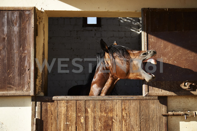 Egypt, El Gouna, neighing horse in stable - STK001195