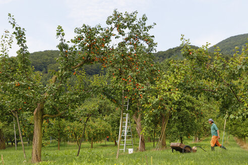 Austria, Lower Austria, Wachau, Spitz an der Donau, apricot trees and farmer, fruit-crop - SIE006500
