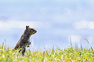 USA, California, California ground squirrel looking, standing on grass - FOF007800