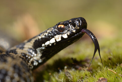 Portrait of Common viper with outstretched tongue - MJOF000958