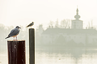 Austria, Salzkammergut, Gmunden, seagull at Ort Castle in Traunsee - EJWF000705