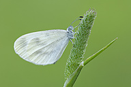 Wood White butterfly - RUEF001523
