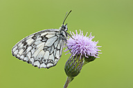 Marbled White butterfly - RUEF001526
