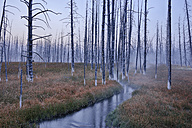 USA, Wyoming, Yellowstone National Park, Firehole Lake Drive, morning mist with dead trees in forest - RUEF001541