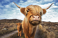 UK, Scotland, Highland cattle with with calf at Laide - SMAF000323