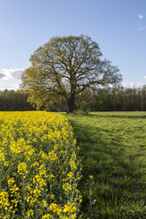 Germany, Brandenburg, blossoming rape and old oak tree on a meadow - ASCF000054
