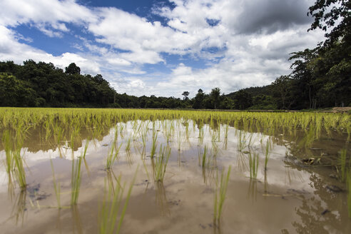 Thailand, Chiang Mai, Rice Field - NNF000223