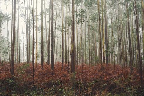 Spain, Galicia, Coruna, Eucalyptus forest in fog - RAEF000077
