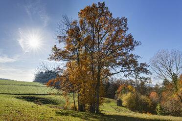 Germany, Bavaria, Hochberg near Traunstein, oak trees in autumn - SIEF006517